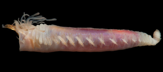 The polychaete Ampharete sp. from Kara sea - Inhabitant of the Arctic Ocean closeup on black