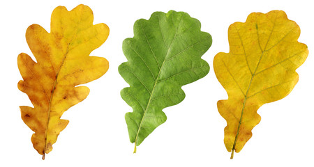 Yellow and green oak leaves isolated on white background.
