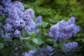 purple lilac blossoms in full bloom