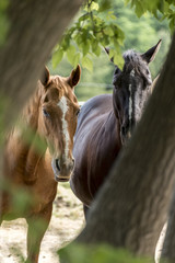 horses viewed through the trees