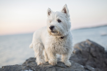 west highland white terrier a very good looking dog Wall mural