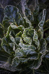 A head of lettuce on a frosty morning.