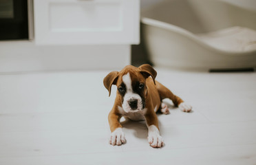 Adorable brown puppy on white floor
