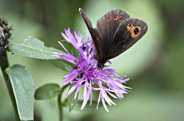 Farfalla appoggiata ad un fiore in Primavera