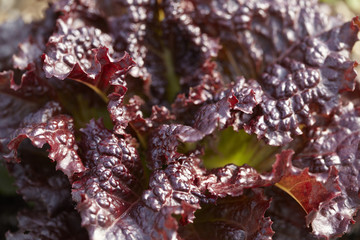 Close-up of fresh red lettuce on farm