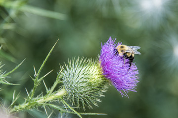 bumble bee on purple thistle