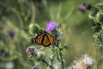 Monarch butterfly resting on purple thistle