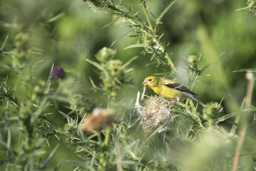yellow finch collecting seeds