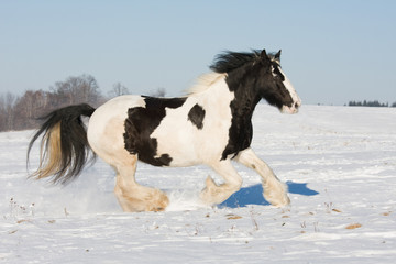 Nice gypsy horse running throught snowy landscape