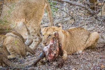 Lion cub eating from a Buffalo kill.
