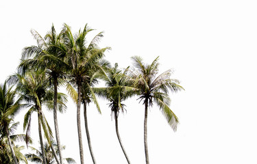 coconut tree on white sky background