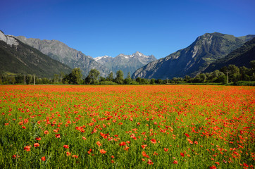 Poppy field with mountain backdrop