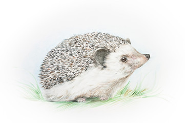 Watercolor illustration of a hedgehog