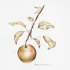 Watercolor illustration of a wild apple on a branch