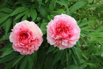 Two pink peopnies