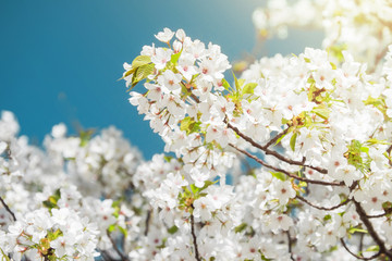 White Sakura or Cherry Blossom Flower with Blank Blue Sky for Text