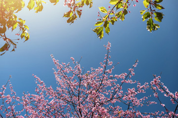 Pink sakura or Cherry Blossom Tree under the Blue Sky