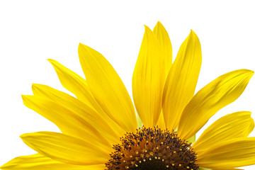 blooming yellow sunflowers on a white background isolate