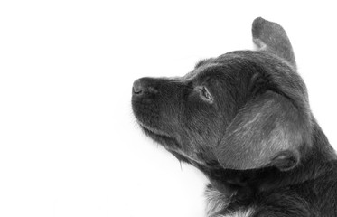 Close up baby dirty dog black color on white background, selecti