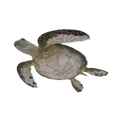 Green sea turtle isolated on a white 3D Illustration