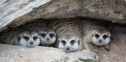 Meerkat Family are sunbathing