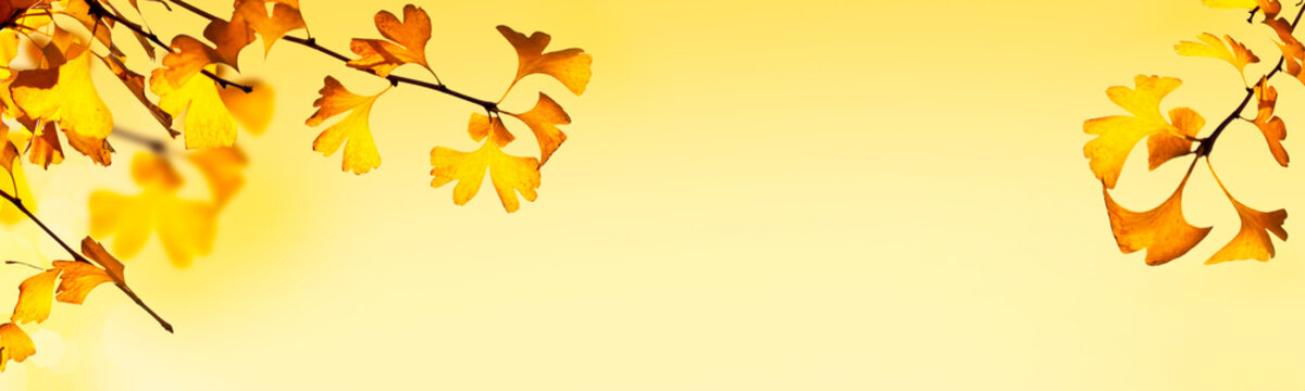 Autumnal header with ginkgo biloba leaves on yellow background