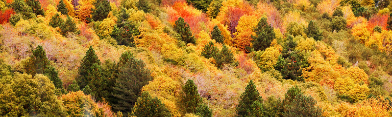 Panorama of yellow and orange trees in autumn in a forest