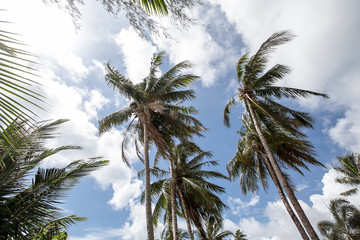coconut palm trees with sky