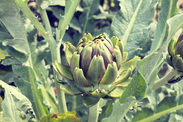 Artichoke (bud) growing on the field. Close up of green cynara. Agriculture homegrown food vegetables, sustainable household concept.