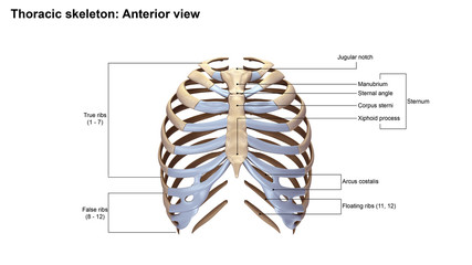 Thoracic Skeleton Anterior view