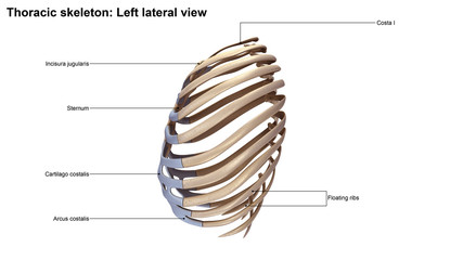 Thoracic Skeleton Lateral view