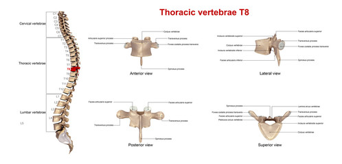 Thoracic vertebrae T8_With Lables