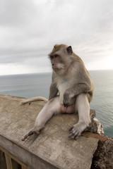 Long-tailed macaque, the temple of Uluwatu, Bali. Indonesia