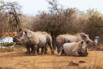 Family of African rhinos