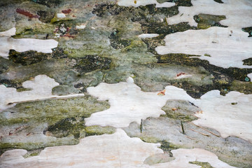 background, texture, abstraction green and gray bark of sycamore