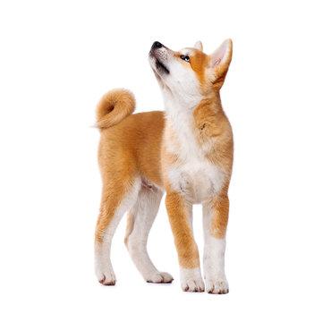 Akita Inu purebred puppy dog isolated on white background. Shiba inu