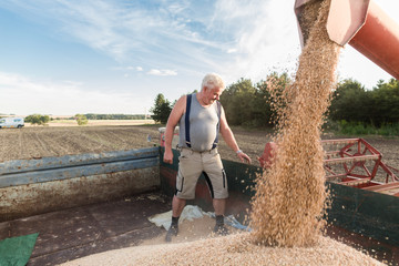 Senior farmer checking quality of harvested wheat on top of combine trailer