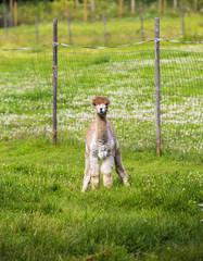 Alpacas on the field.