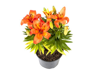 Bright Orange Asian Lily Plant on White Background