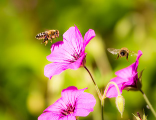 Bees flying to geranium flower blossoms