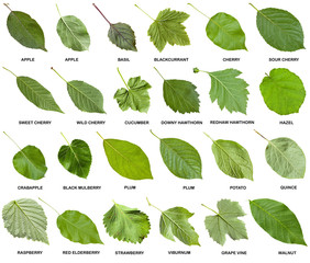 collage from green leaves of trees with names