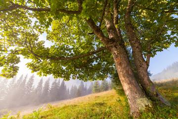 Oak tree in full leaf in summer standing alone.