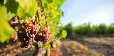 Grappe de raisin dans les vignes Fototapete