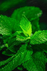 Fresh green mint close-up on a dark background