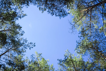 Contiferous trees tops look-up to blue sky