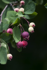 Pink, white, and purple crab apples ripen on the branch against a dark background.