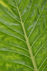 Large green leaf showing pale midrib and main veins with darker netted veins on bright green leaf surface.