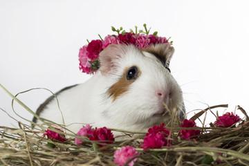 porquinho da índia coroa de flores