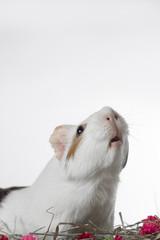 porquinho da índia fundo branco
