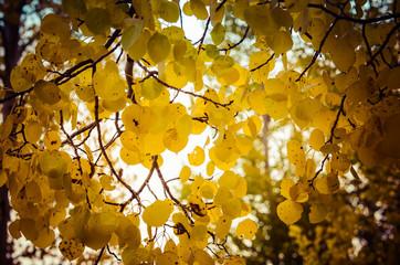 Sun filtered through aspen leaves